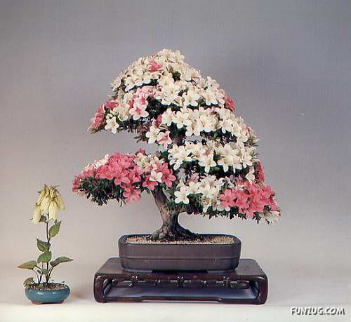 Awesome Japanese Bonsai Trees