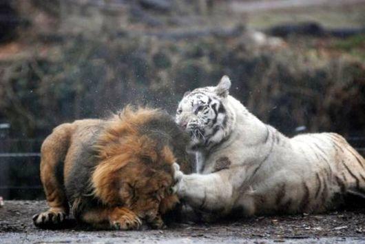 Beautiful Rare White Tigers